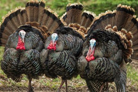 Archery Hunting Turkeys by Matt Wellls on Modern Carnivore